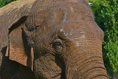 Asiatischer Elefant/Elephas maximus