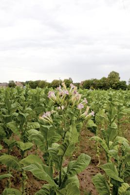 Der Tabak blüht