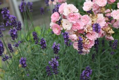 Schöner Lavendel vor Röschen