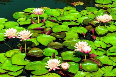 Blumen im Teich