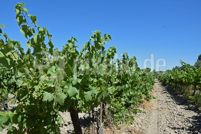 Unendliches Weinbaugebiet
