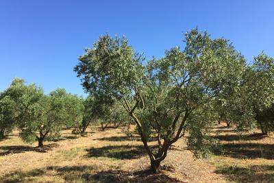 Olivenbäume noch und noch