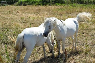 Die wilden freien Camargue-Pferde
