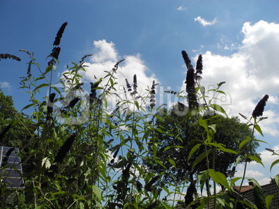 Schmetterlingsflieder vor Sommerhimmel