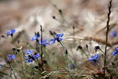 Kornblumen im Gerstenfeld