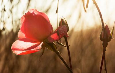 Rose_003