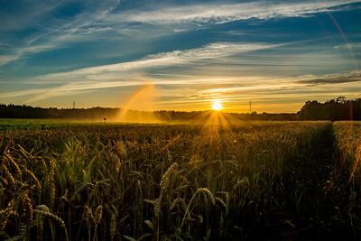 Im Weizenfeld (1)