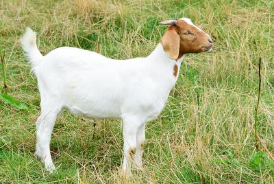 Portrait einer Ziege