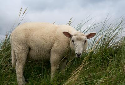 Schaf im Fokus