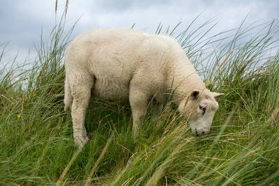 weidendes Schaf