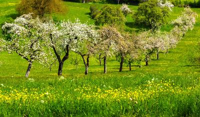 Streuobstwiese im Frühling