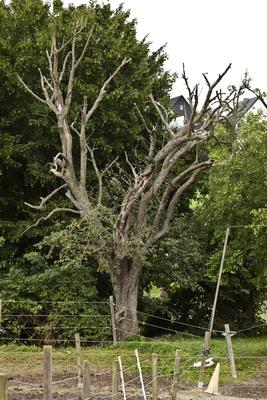 Der Alte Birnbaum stirbt