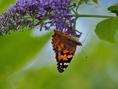 kopfüber im nektarrausch