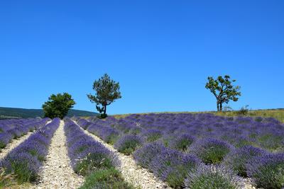 Lavandin (Hybrid-Lavendel)