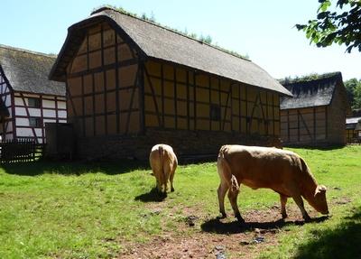 Rinder im Gegenlicht