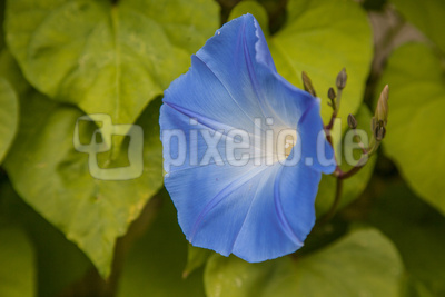 blaue Edelwicke