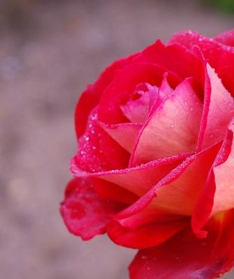 Rosenblüte mit Morgentau