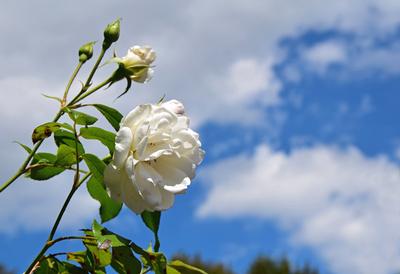 Sommertraum in weiß