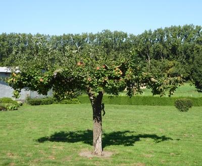 Apfelbaum mit Früchten und Eichhörnchen