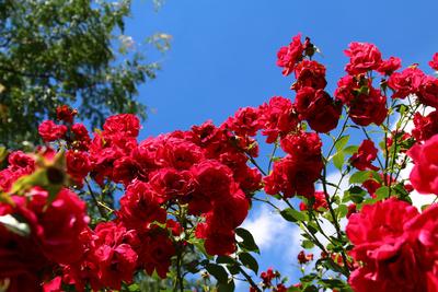 Rosen.Rot