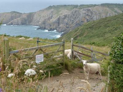 Schafe auf Sark