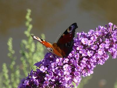 Pfauenauge auf der Blüte