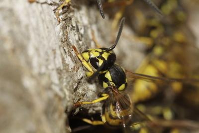 Wespen beim Nestbau, 03