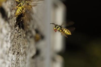 Wespen beim Nestbau, 05