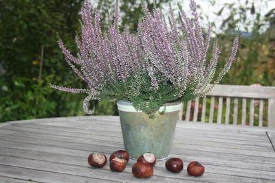 Heide im Blumentopf