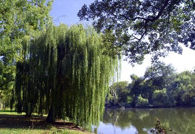 Trauerweide am Teich