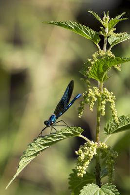 Libelle sitzt auf Brennessel