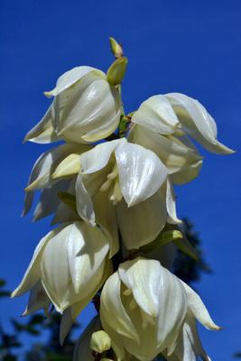 Blüte der Yucca