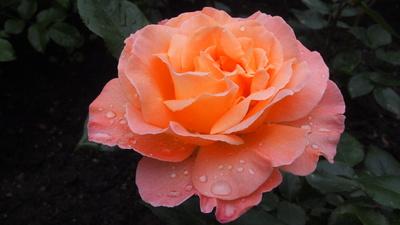 Schönheit im Regen