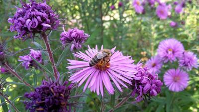 Honigbiene auf Herbst-Aster