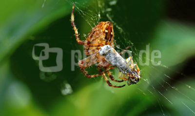Spinnenwickel
