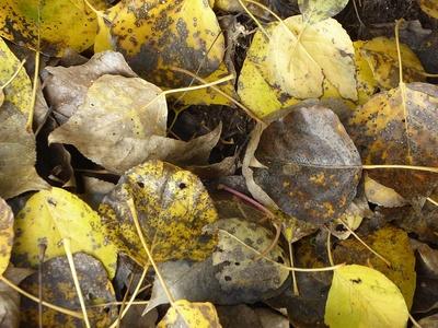 Pappellaub am Boden