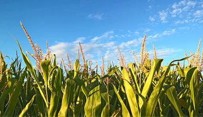 Maisfeld und Himmel