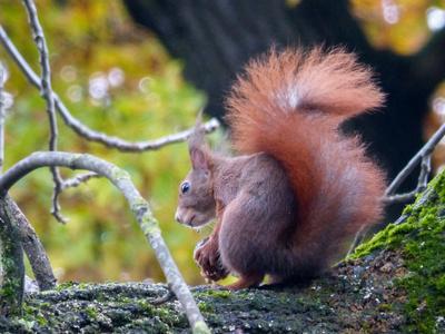Eichhörnchen präsentiert Schwanz