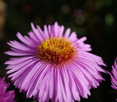 Blütenschirm