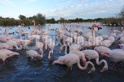 Flamingos am Abend