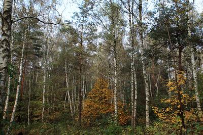 Herbst im Birkenwald