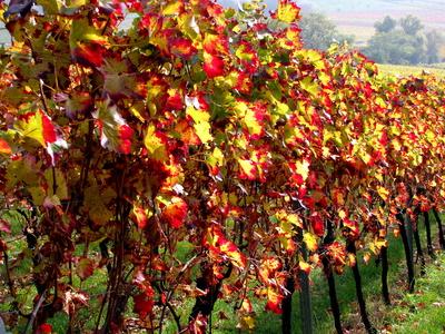 Farbenpracht der Weinreben