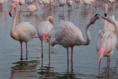 Flamingos der Camargue II