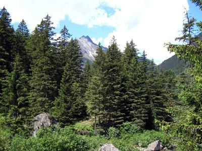 Tannenwald im Gebirge