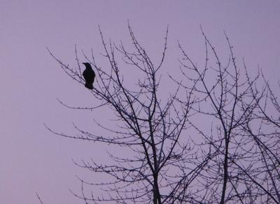 Rabenkrähe im kahlen Baum