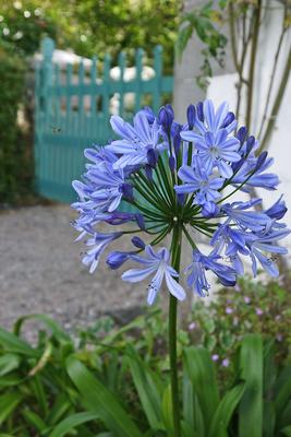 Irische Blume