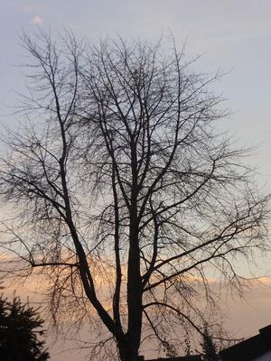 Baum vor dem Morgenrot