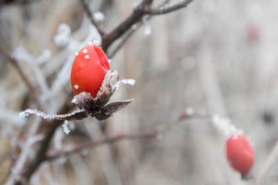 Rosengarten im Winter