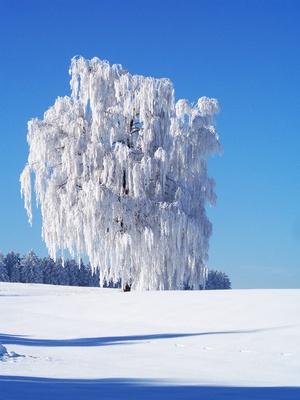 Vereister Weidenbaum