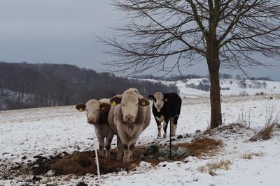 Drei Kühe im Schnee
